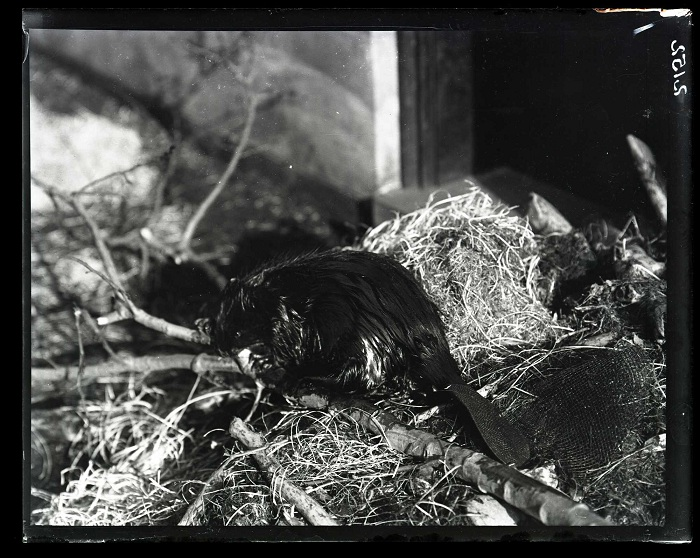 Another of the two live beavers once housed at the museum.