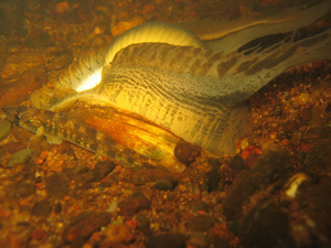 Brooding display of the Black Sandshell mussel. Courtesy of Mike Davis, Department of Natural Resources