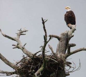 2015 aerial surveys show Wisconsin's eagle population soars to new record, Photo courtesy of Michele Woodford.