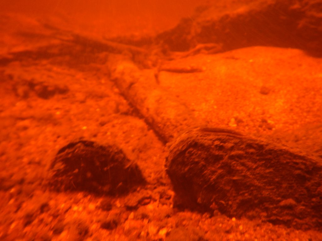 Freshwater mussels in a river bed. Image by Jessica Kozarek.