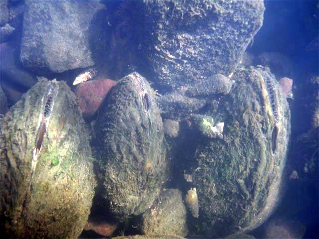 Freshwater mussels in a mussel bed. Source: Mike Davis, Minnesota Department of Natural Resources.