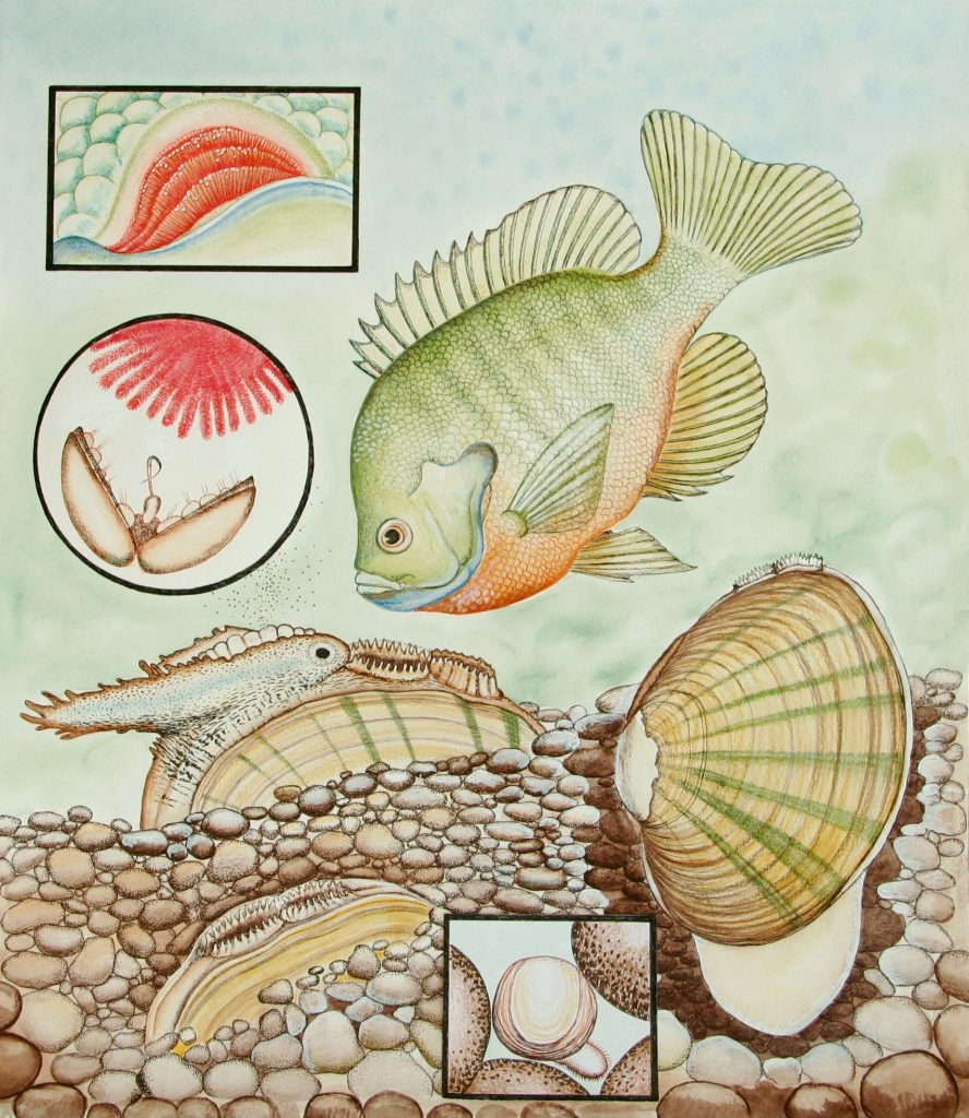"""This illustration is from the booklet, """"A Pocket Guide to Kansas Freshwater Mussels."""" It is reproduced with permission from the artist, Karen Couch."""