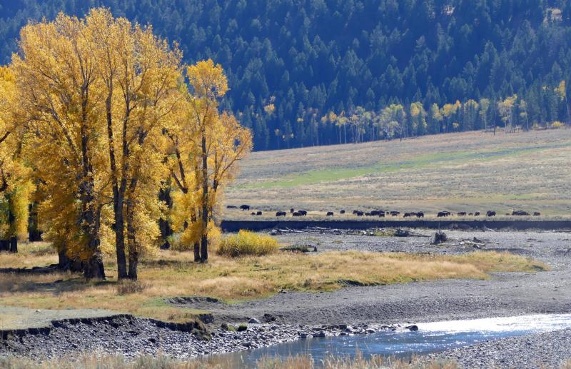 Cottonwoods and bison along the Lamar River in Yellowstone National Park. Yellowstone is referred to as the world's first national park and is known for its geysers and wild animals, including bison and grizzly bears. Image via National Park Service. Photographer Neal Herbert.