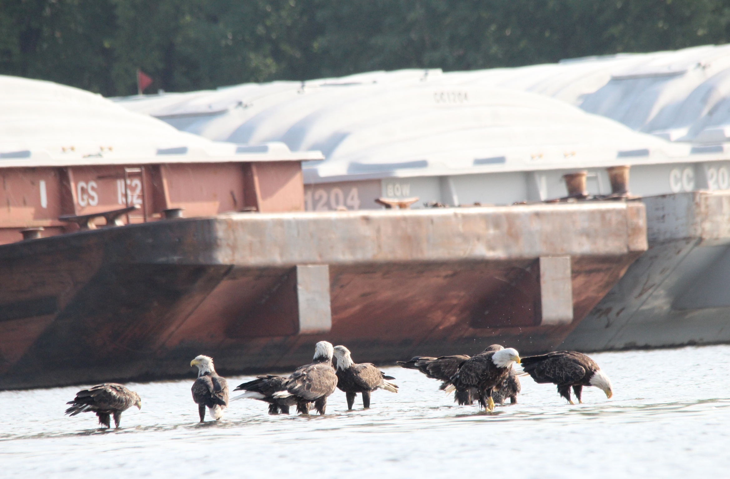 Pig's Eye. Eight bald eagles stand in shallow water in an industrial area. Photographer Monica Bryand.