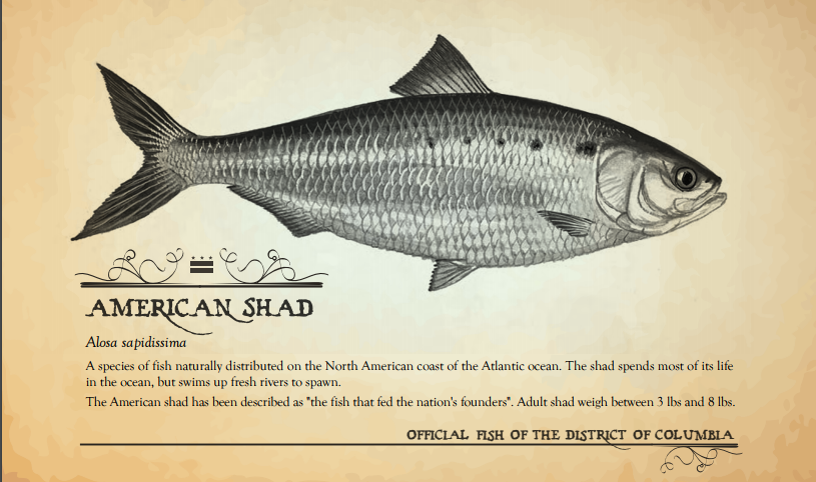 Figure 11: American Shad, D.C. State Fish. Official Fish Poster from Department of Energy & Environment website. The poster reads 'A species of fish naturally distributed on the North American coast of the Atlantic ocean. The shad spends most of its life in the ocean, but swims up fresh rivers to spawn. The American shad has been described as 'the fish that fed the nation's founders.' Adult shad weigh between 3 and 8 lbs.'