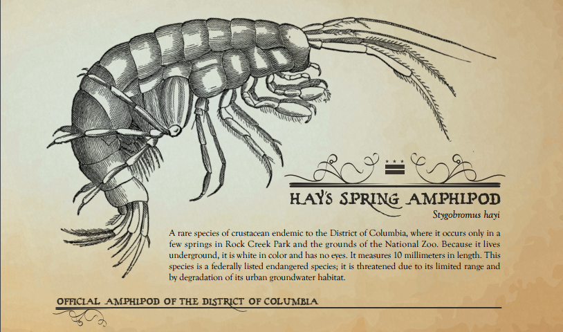 Figure 12: Hay's Spring Amphipod, D.C. State Amphipod. Official Amphipod Poster from Department of Energy & Environment website. It reads 'A rare species of crustacean endimic to the District of Colubmia, where it occurs only in a few springs in Rock Creek Park and the grounds of the National Zoo. Because it lives underground, it is white in color and has no eyes. It measures 10 millimeters in length. This species is a federally listed endangered species; it is threatened due to its limited range and by degradation of its urban groundwater habitat.'