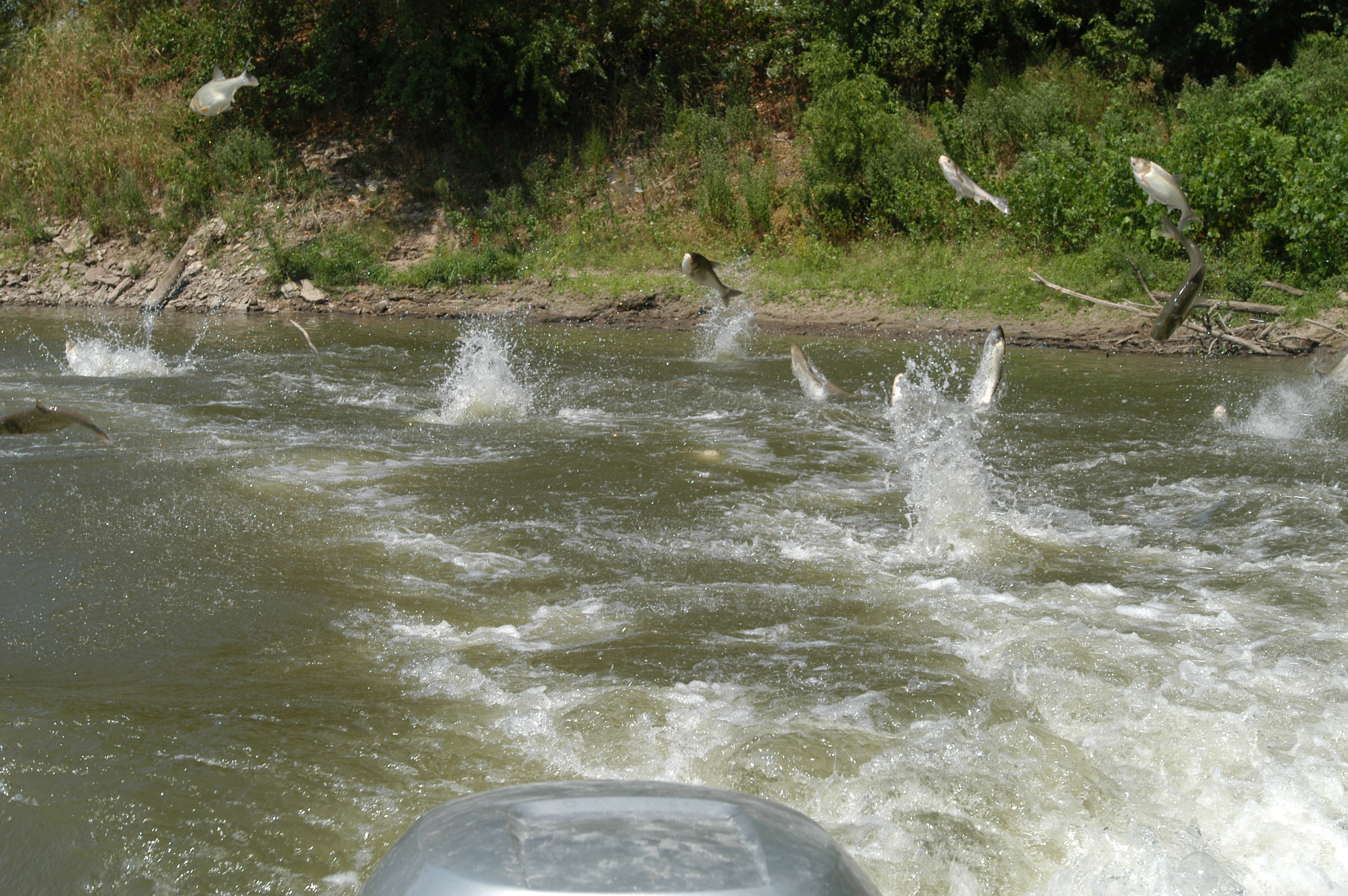 This image – not taken in Minnesota – shows how invasive Silver ('Asian') carp jump out of the river when startled.