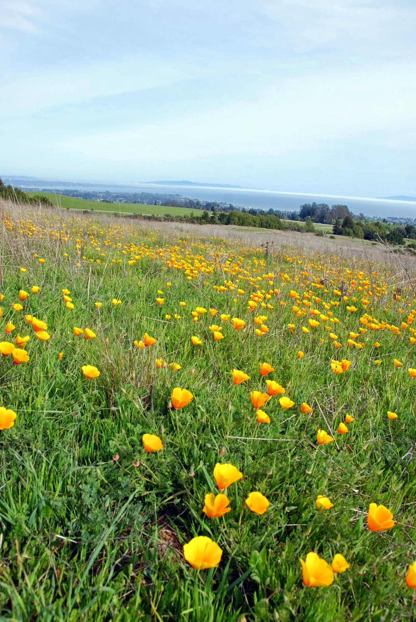 An explosion of rare California poppies in the Great Meadow on the UC Santa Cruz campus. Photographer Gregory Gilbert.