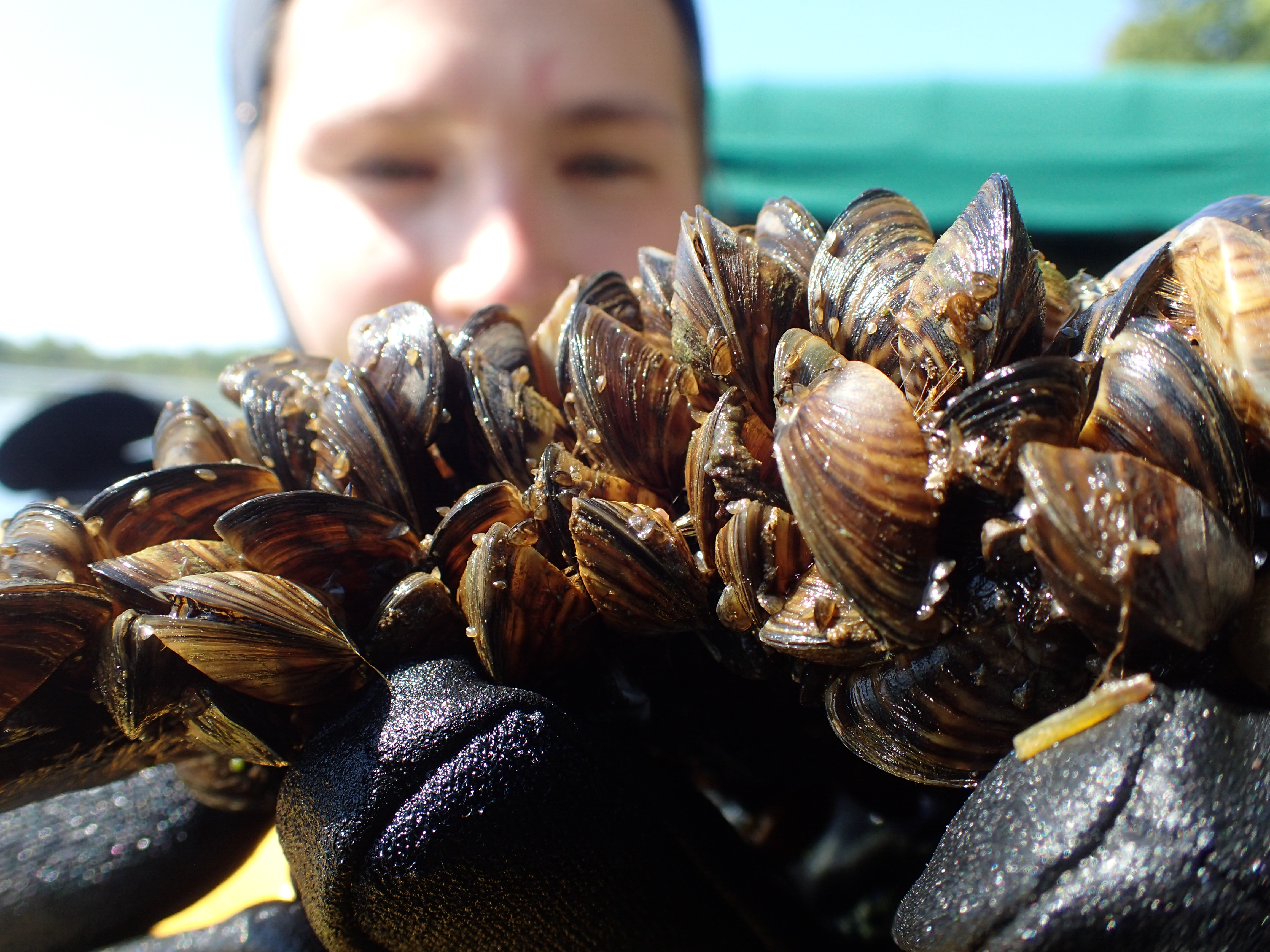 A SCUBA diver holding adult zebra mussels, which are covered by juveniles.