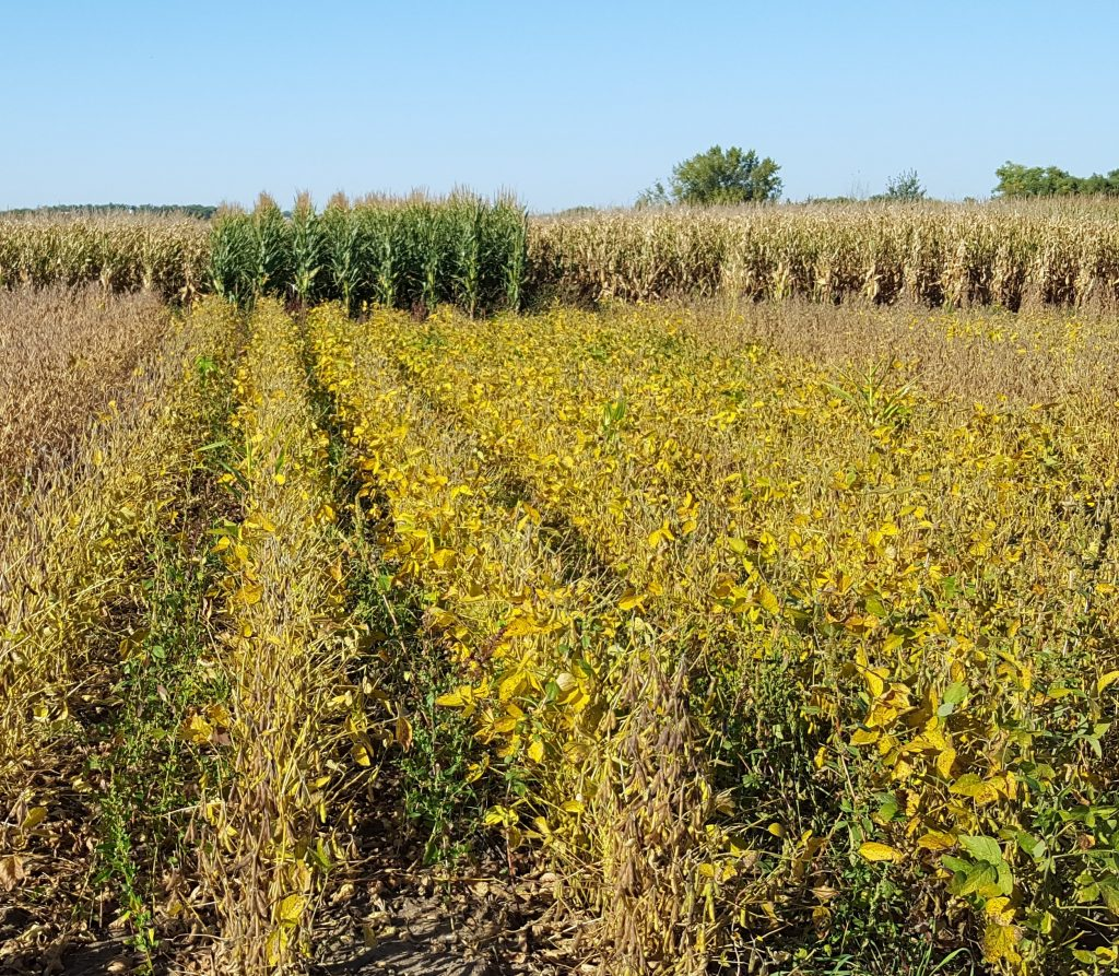 """Double cropping with camelina at the Southwest Research and Outreach Center at Lamberton. 'Relay crops' are planted before the first crop is harvested. """"Sequence crops"""" are planted after the first crop is harvested."""