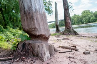 Beach and beaver tree at Bdote. A tree has been gnawed down to its core by a beaver.