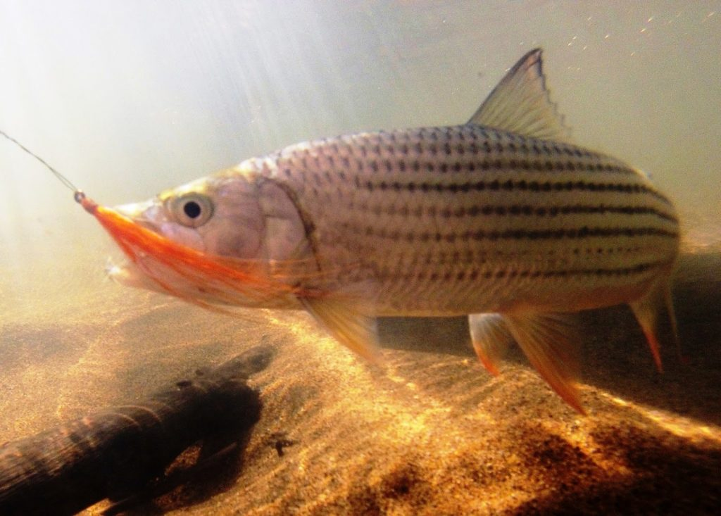 The tiger fish is one of Pongola River Company's main attractions that is gradually becoming less abundant with the increasing drought. Image courtesy of the Pongola River Company.