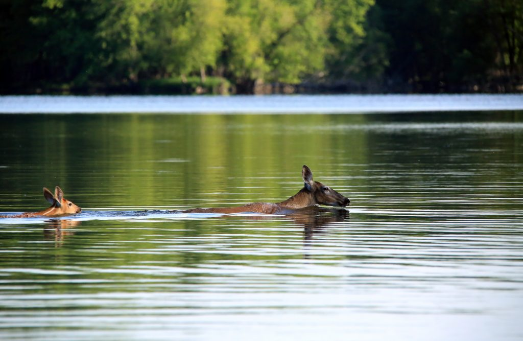 Two deer swim in the river. The water is so deep that only their heads are visible.