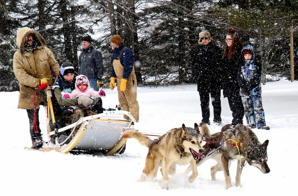 Dogsledding demonstration at the Forest History Center. Photographer Paul Pluskwik, courtesy of Minnesota Historical Society.