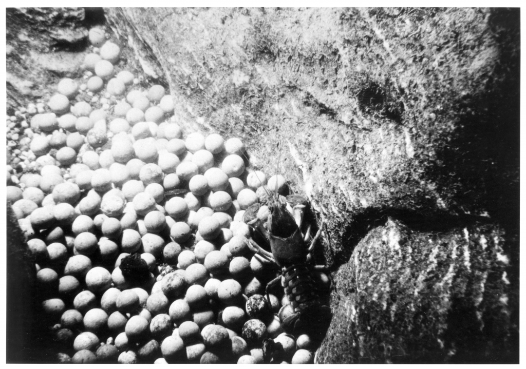 Figure 8. A hoard of musket balls in the rocky bottom of the French River.