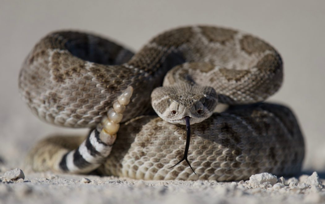 Rattlesnake. Image courtesy of Duncan Sanchez.