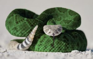 Rattlesnake body. Original image courtesy of Duncan Sanchez.