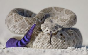 Rattlesnake tail. Original image courtesy of Duncan Sanchez.