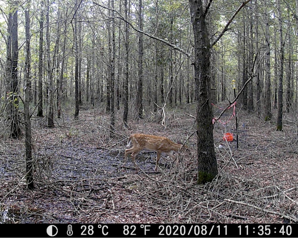 Deer photographed by a remote camera in a climate change-altered forest in North Carolina. Image by Emily Ury, CC BY-ND.