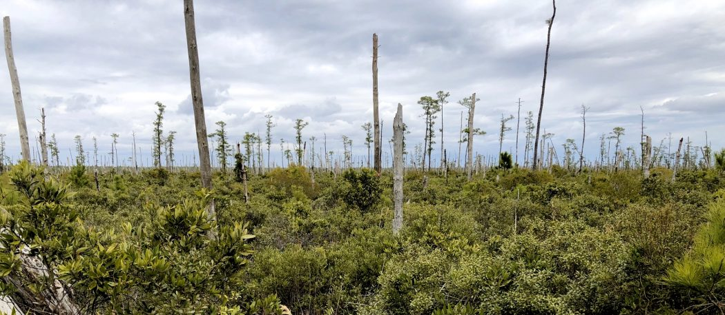 Ghost forest panorama in coastal North Carolina. Image by Emily Ury, CC BY-ND.